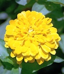 Zinnia_yellow.jpg
