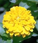 Zinnia_yellow.jpg