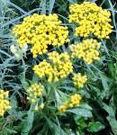 achillea_yellow.JPG