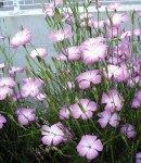 agrostenma_pink.jpg