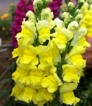 aroma_yellow.JPG