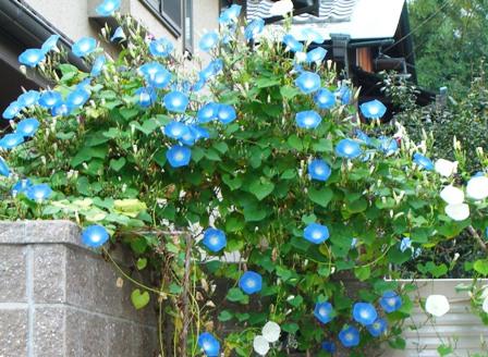 asagao_image1_448×328.jpg