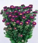 aster matsumoto_5 purple.jpg