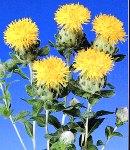 benibana_yellow.jpg