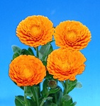 calendula_orange.jpg
