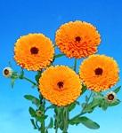 calendula_orange_black.jpg