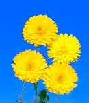 calendula_yellow.jpg