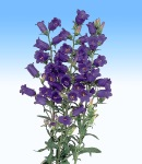 campanula_1 purple.jpg