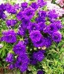 campanula_double_purple.jpg