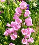 campanula_pink.jpg