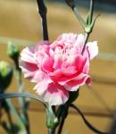 carnation spray dreamy pink.JPG