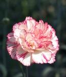 carnation spray first love.JPG