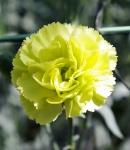 carnation spray green.JPG