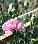carnation spray lavender.JPG