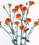 carnation spray orange.jpg