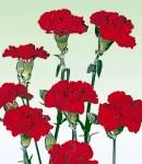 carnation_1 red.jpg