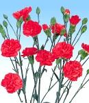carnation_2 rose.jpg