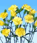 carnation_3 yellow.jpg