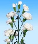 carnation_4 white.jpg