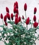clover very very2.jpg