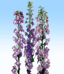 delphinium magicfonten_2 lilac.jpg