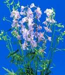 delphinium_beradonna_lilac.jpg