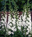 digitalis_7 white.jpg