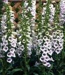digitalis_8 lavender.jpg