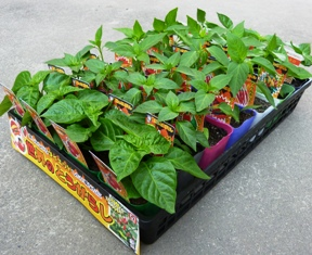hotpepper_case_288×235.JPG
