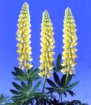 lupinus_2 yellow.jpg