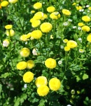 matoricaria_yellow.JPG