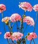 raceflower_pink.jpg