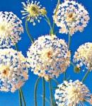 raceflower_white.jpg