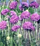 scabiosa_purple.jpg