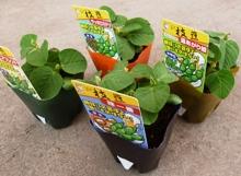 soybeans_pot_220×161.JPG