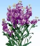 spraystock_purple.jpg