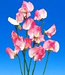 sweetpea_4 pink.jpg