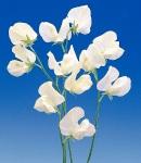 sweetpea_5 white.jpg