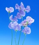 sweetpea_6 light blue.jpg