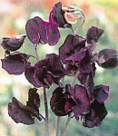 sweetpea_7 purple.jpg