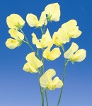 sweetpea_8 yellow.jpg